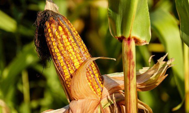 L'évaluation de la toxicité des OGM remise en cause