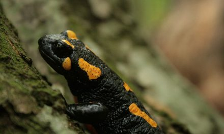 Comptage des amphibiens à Vitré : samedi 1er avril