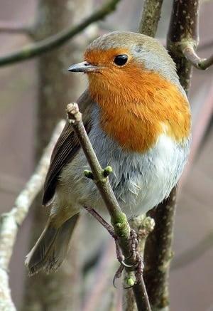 oiseau-rouge-gorge