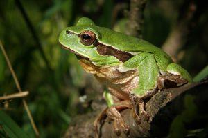 eau et rivières de Bretagne grenouille