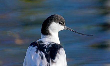 Balade ornithologique avec Bretagne Vivante – Dimanche 12 mars