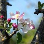 arbre_pommier_fleurs