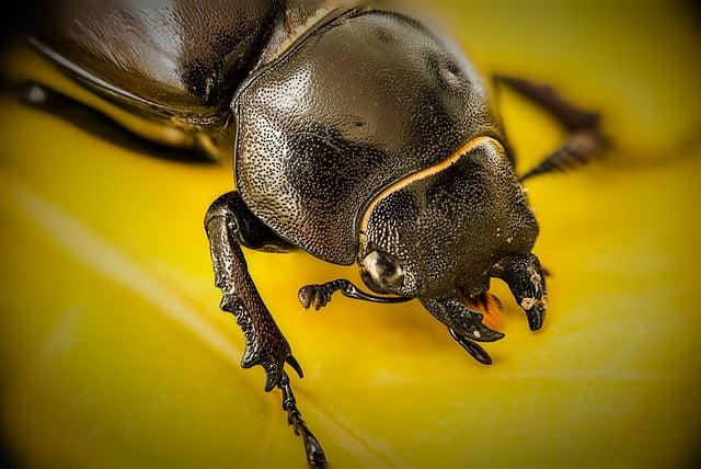 Lucane Cerf-volant…en quête d'insectes