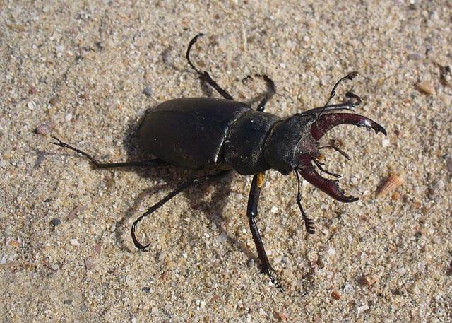 insecte_lucane