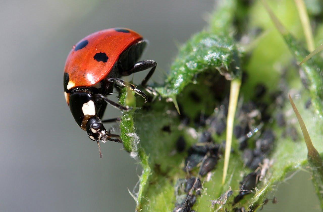 atlas insecte_coccinelle gretia