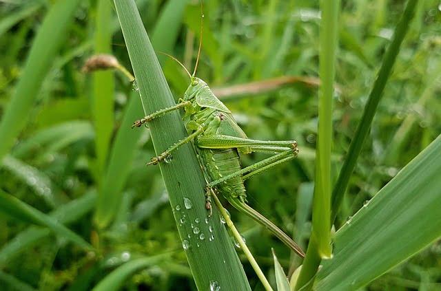 insecte_sauterelle LPO BV