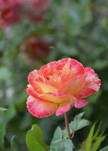 fleur_rose