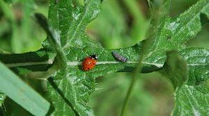 potager_coccinelle_larve