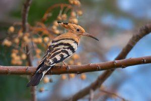 Oiseau_huppe-fasciee