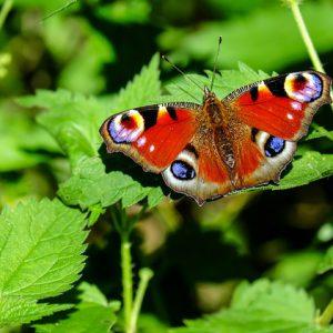 insecte_papillon_paon-du-jour