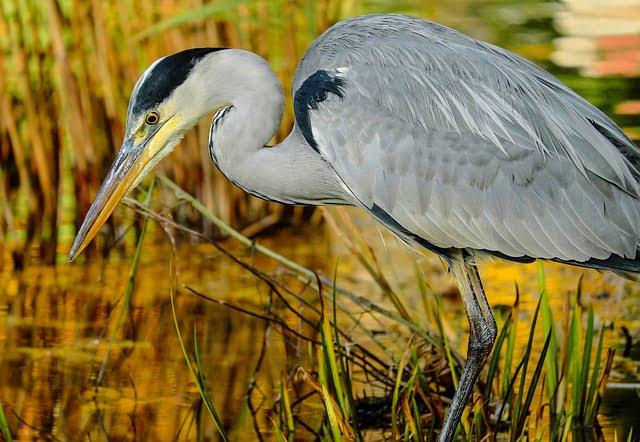 oiseau_heron-cendre