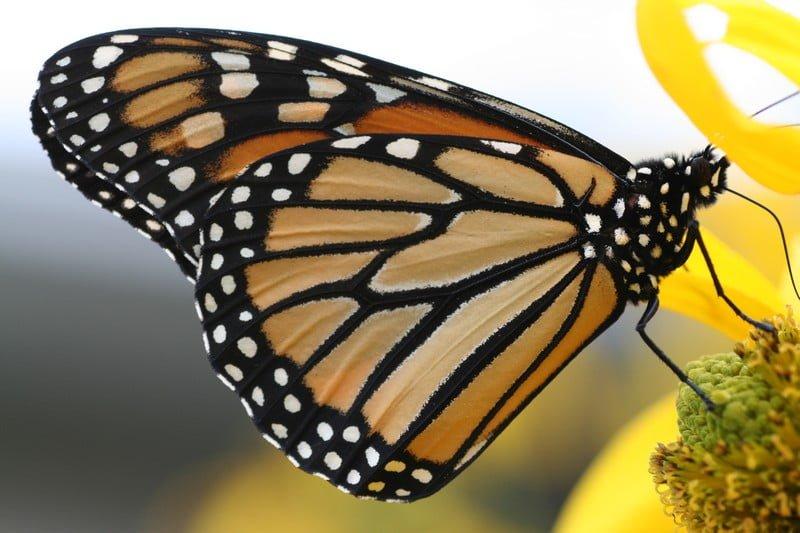 insecte_papillon