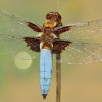 Les libellules – Eau et rivières de Bretagne