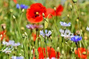 fleurs-prairie-fleurie