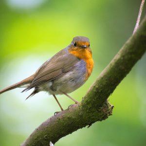 oiseau_rouge-gorge