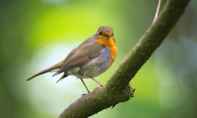 Oiseaux d'Ille-et-Vilaine : et si vous appreniez à les reconnaître ?