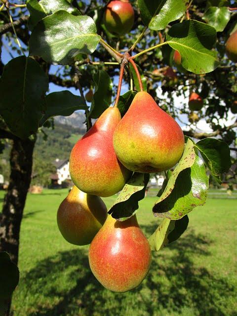 arbre_poirier