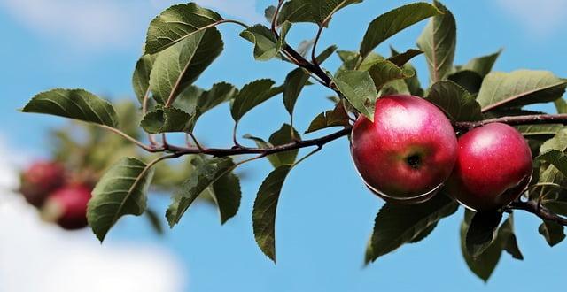 arbre_pommier