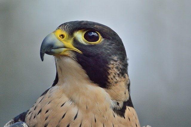 oiseau_faucon-pelerin