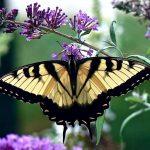 insecte_papillon4