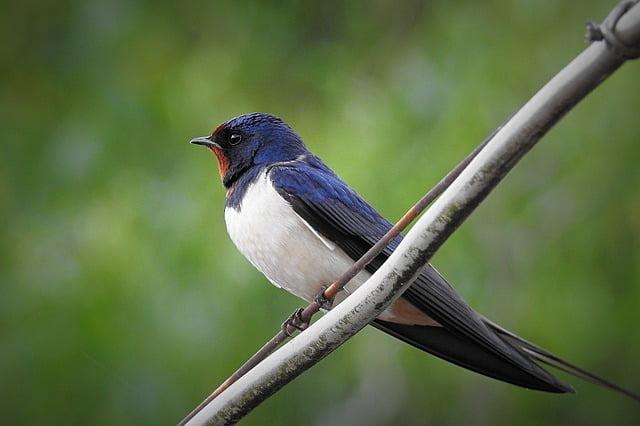 oiseau_hirondelle