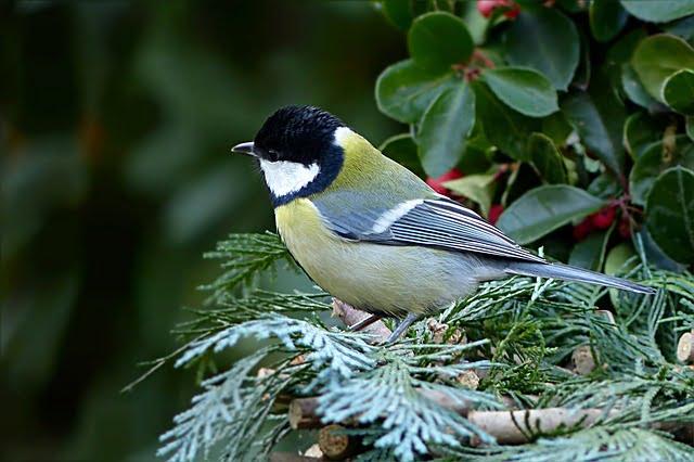 oiseau_mesange1